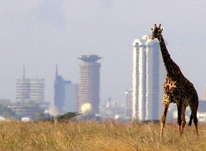 Giraffe outside Nairobi - the rich bit