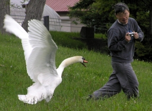 Confrontations with swans are never wise