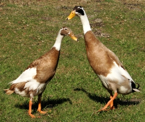 A pair of Indian Runner ducks