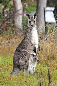 Escaped kangaroo's Bohemian rhapsody