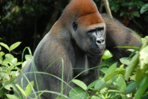 A silverback gorilla in its natural environment, not in England