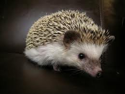 African pygmy hedgehogs available pre-loved