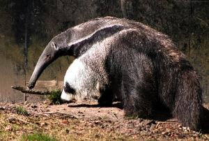 Anteater - the alternative to a hedgehog