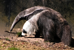 Anteater - the alternative to a hedgehog