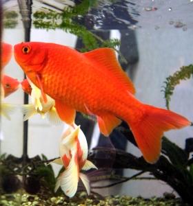 Goldfish lead unmemorable lives