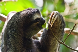 A sloth - highly regarded in Guatemala