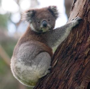 A koala or a Fringe performer? The choice is yours