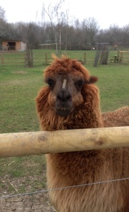 A llama remained unimpressed even at 10.10am on the Isle of Dogs
