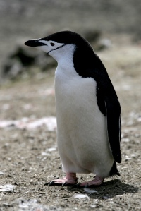 This penguin is real and is not a spider