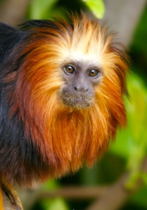 A golden-headed tamarin (Photograph by Hans Hillewaert)