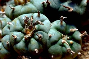 Peyote cacti in the wild